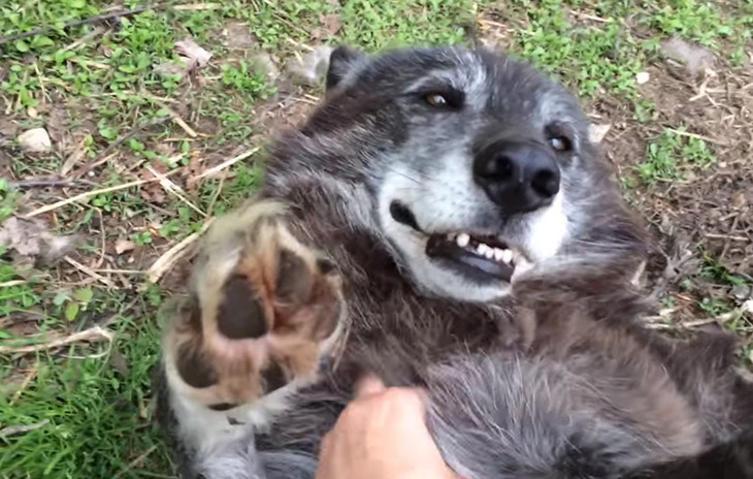 Die rührende Geschichte von Lakomi, der Wolfshündin