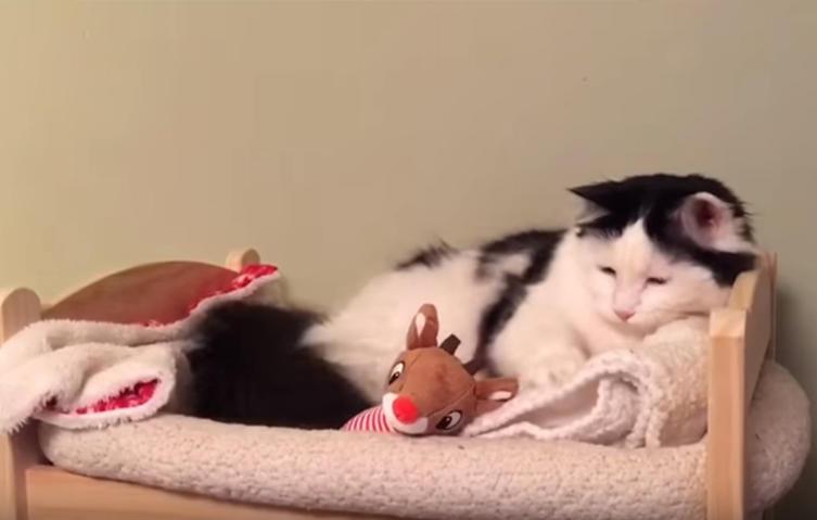 Süß: Diese Katze bringt sich selbst ins Bettchen