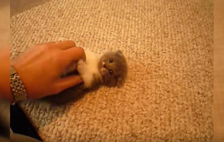 Das putzige Duell zwischen Hand und Babykatze