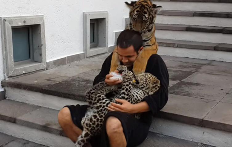 Dieser Moment, wenn ein Tiger um deine Aufmerksamkeit bettelt…