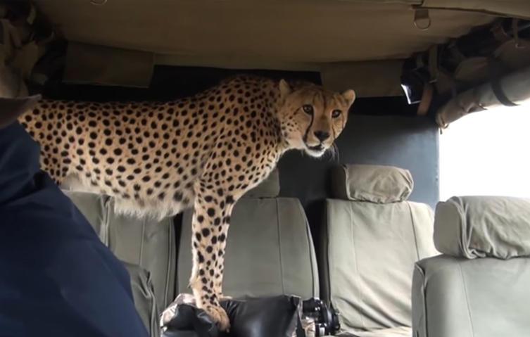 Dieser Moment, wenn ein wilder Gepard auf dem Rücksitz sitzt