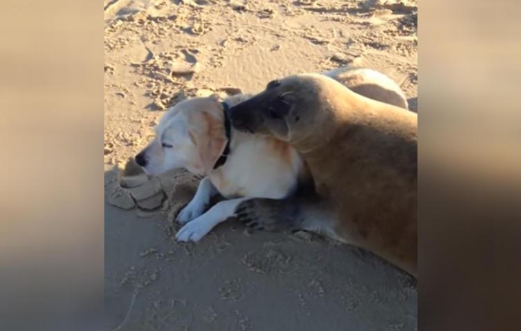Süße Tierfreundschaft: Seehund und Labrador werden beste Freunde