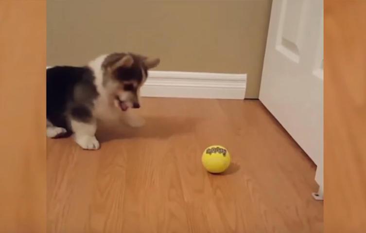 Wenn ein Corgi zum ersten Mal im Leben auf einen Tennisball trifft…