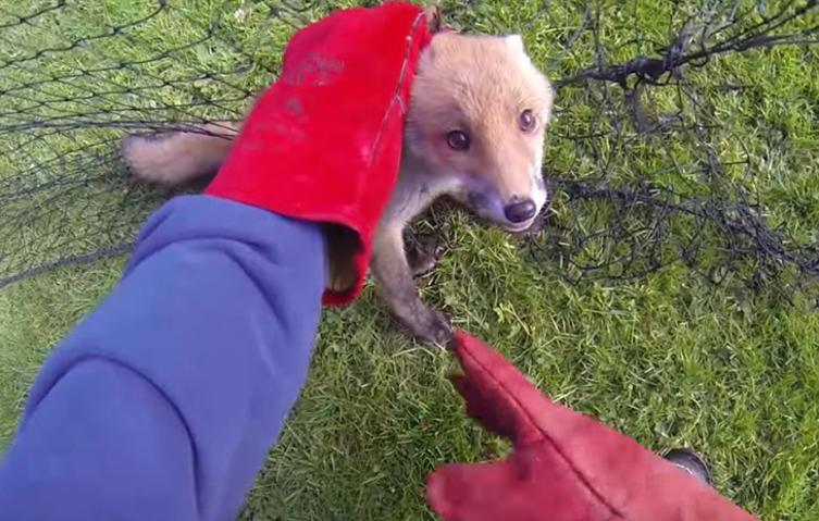 Dieser kleine Fuchs hat sich in einem Netz verfangen – doch die Rettung naht!