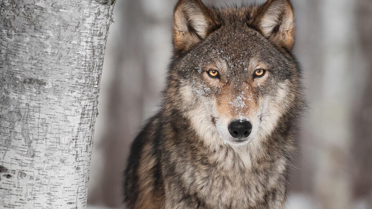 Vom Wolf zum Hund – Wie aus dem Raubtier der beste Freund des Menschen wurde