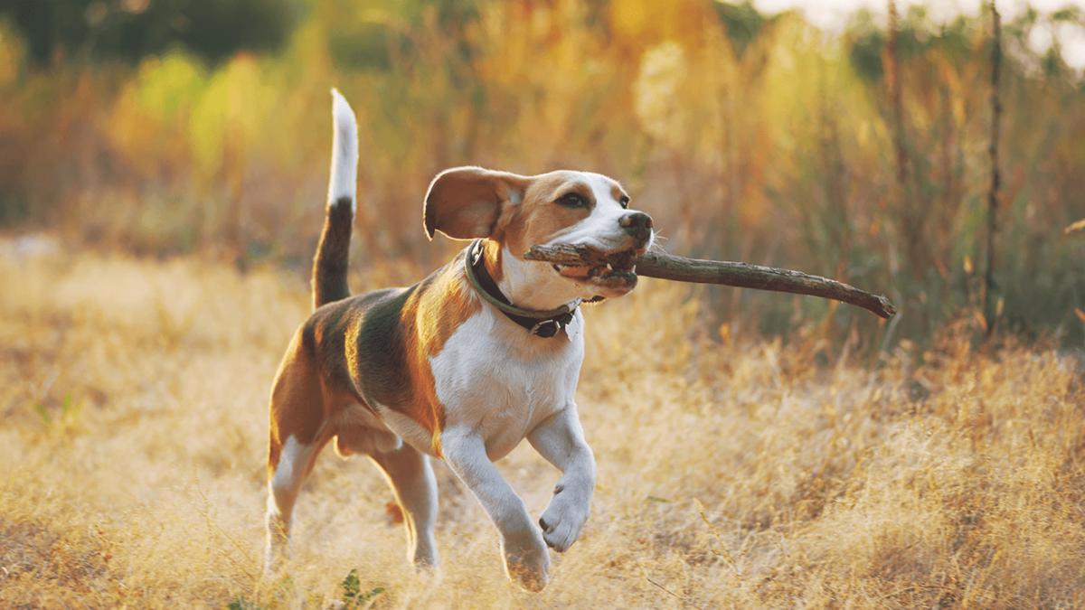 Rasseporträt Beagle – Ein Snoopy für zu Hause