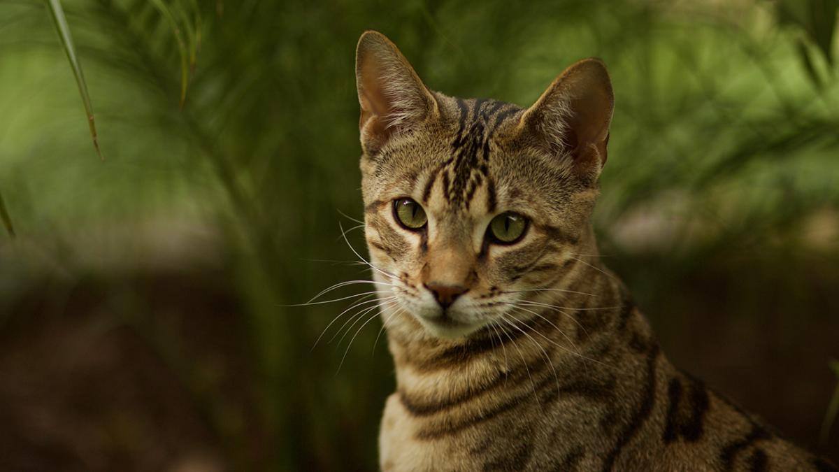 Hybridkatzen – Ein Hauch von Wildnis im Wohnzimmer