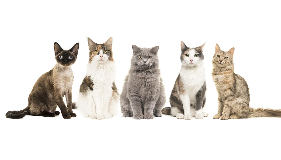 Die 5 teuersten Katzenrassen der Welt