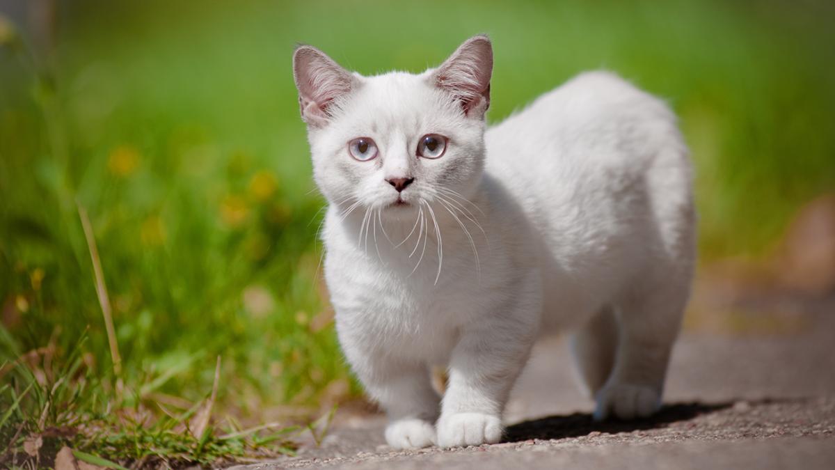 Rasseporträt: Munchkin – Die Katze mit den Dackelbeinen