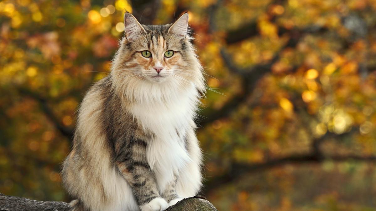 Rasseporträt: Norwegische Waldkatze