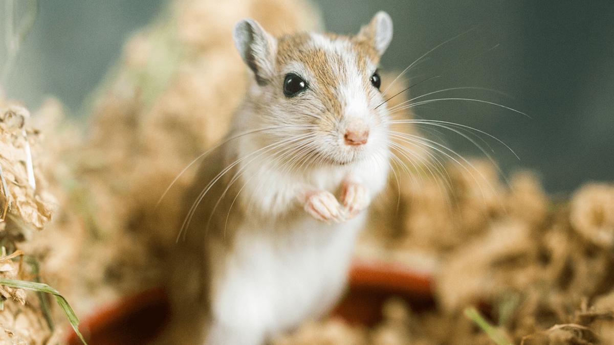 Der Gerbil – Was Du zu den putzigen Wüstenrennmäusen wissen solltest